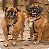 Pug/Beagle Mix Dog for adoption in Grapevine, Texas - Lori