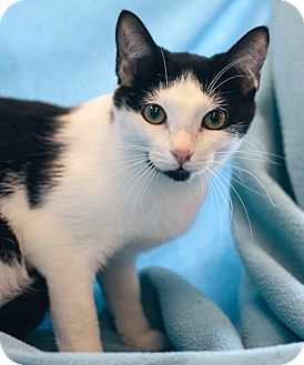 Domestic Shorthair Cat for adoption in Troy, Michigan - Gene