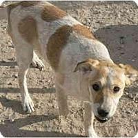 Adopt A Pet :: Cory - Thatcher, AZ