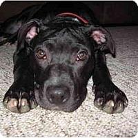 Adopt A Pet :: K'baa - Reisterstown, MD