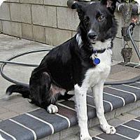 Adopt A Pet :: ANDY - Phelan, CA