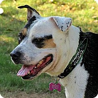 Adopt A Pet :: PEPPERMINT PATTY - Phoenix, AZ