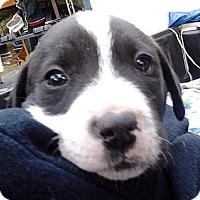 Adopt A Pet :: 'MICKEY' - Brooksville, FL