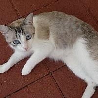 Siamese Cat for adoption in Woodland Hills, California - Lola