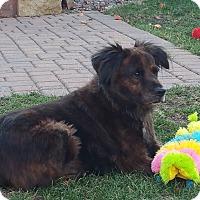 Adopt A Pet :: Brandi - Elk River, MN