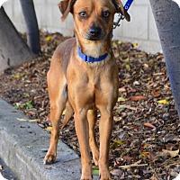 Adopt A Pet :: Susie - Palo Alto, CA