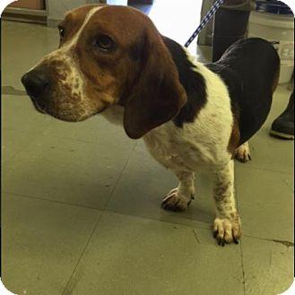 Basset Hound/Beagle Mix Dog for adoption in Hamilton, Georgia - Skid