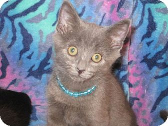 Domestic Shorthair Kitten for adoption in Youngsville, North Carolina - Thomas O'Malley