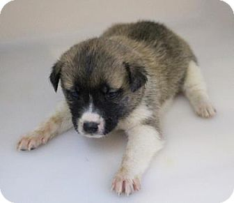 Keeshond Mix Puppy for adoption in Chester Springs, Pennsylvania - Roscoe