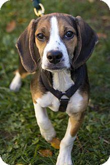 Boston Terrier/Beagle Mix Puppy for adoption in St. Louis Park, Minnesota - DeMaggio