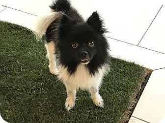 Pomeranian Dog for adoption in Los Angeles, California - OREO