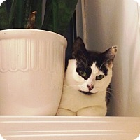 Domestic Shorthair Cat for adoption in Vancouver, British Columbia - Tink