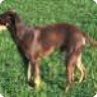 Miniature Pinscher Mix Dog for adoption in Franklin, Tennessee - CHARLIE BROWN