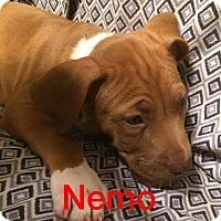 Adopt A Pet :: Nemo - Normal, IL