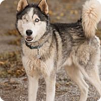 Adopt A Pet :: Loki - Cedar Crest, NM