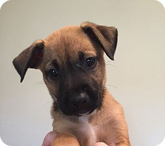 Belgian Malinois Mix Puppy for adoption in Ft. Lauderdale, Florida - Maddie