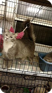 Maine Coon Cat for adoption in Land O Lakes, Florida - Sierra
