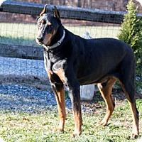 Adopt A Pet :: TORPEDO - Greensboro, NC