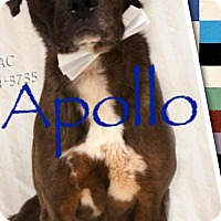 Adopt A Pet :: Apollo - Effort, PA