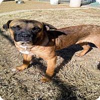 Adopt A Pet :: DUKE - Plano, TX