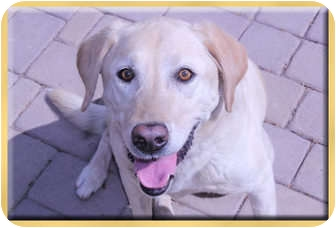 Labrador Retriever Dog for adoption in Scottsdale, Arizona - Karma
