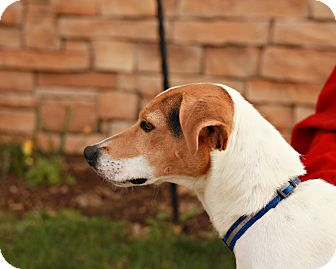 Beagle/Jack Russell Terrier Mix Dog for adoption in Lancaster, Ohio - Isis