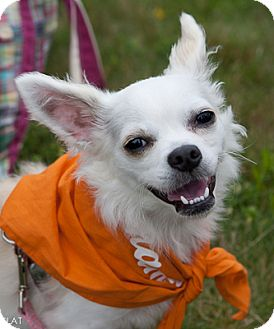Chihuahua Mix Puppy for adoption in Loudonville, New York - Abbie