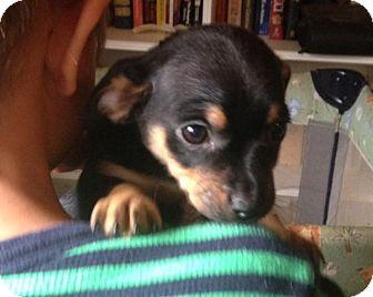 Dachshund/Feist Mix Puppy for adption in Winston-Salem, North Carolina ...