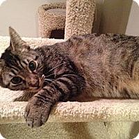 Adopt A Pet :: Whippet - East Hanover, NJ