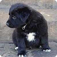 Adopt A Pet :: *Auggie - PENDING - Westport, CT