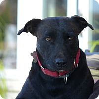 Airedale Terrier/American Staffordshire Terrier Mix Dog for adoption in West Hollywood, California - Terry
