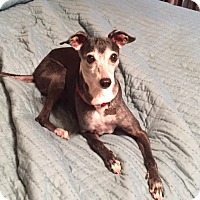 Adopt A Pet :: Haley in Austin/Killeen area - Argyle, TX
