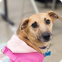 Adopt A Pet :: Clarabelle - Minneapolis, MN