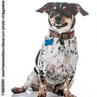 Adopt A Pet :: Hudson - McKinney, TX