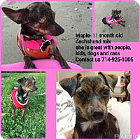 Adopt A Pet :: Maple - Santa Ana, CA