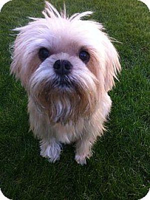 Brussels Griffon Mix Dog for adoption in Mesa, Arizona - VOLUNTEERS NEEDED IN AZ & NV
