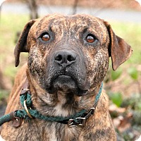 Adopt A Pet :: Bowzer - Maryville, TN