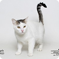 Domestic Shorthair Cat for adoption in Baton Rouge, Louisiana - Angela