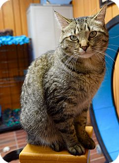 Domestic Shorthair Cat for adoption in Des Moines, Iowa - Maddy