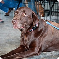 Labrador Retriever Dog for adoption in Austin, Texas - Sadie