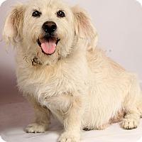 Adopt A Pet :: Vern Wheaten West - St. Louis, MO