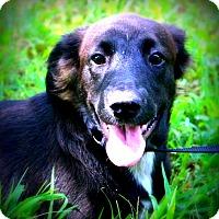 Adopt A Pet :: Izzy - Glastonbury, CT