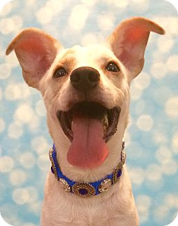 Labrador Retriever/Jack Russell Terrier Mix Dog for adoption in Lakeland, Tennessee - Sir Wagglesworth