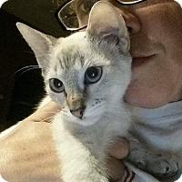 Adopt A Pet :: Zuri - Levelland, TX