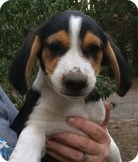 Beagle/Border Collie Mix Puppy for adoption in Kittery, Maine - Huck