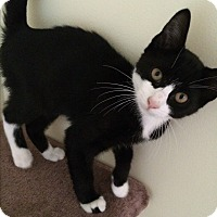 Domestic Shorthair Kitten for adoption in Manasquan, New Jersey - Black white tuxedo kitten male