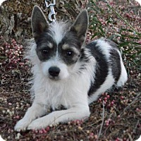 Adopt A Pet :: Tom - Las Vegas, NV