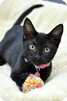 Domestic Shorthair Kitten for adoption in Fort Leavenworth, Kansas - Cinder-adoption pending