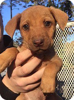 Labrador Retriever/Hound (Unknown Type) Mix Puppy for adoption in Grafton, Wisconsin - Karen