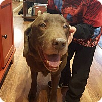 Adopt A Pet :: Miss Cocoa - Sawyer, ND